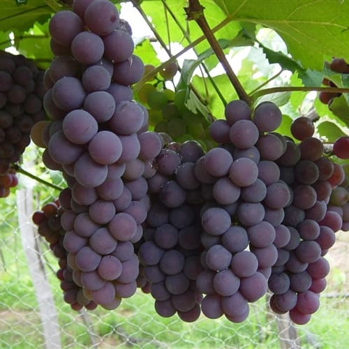 Suco uva polpa 500ml